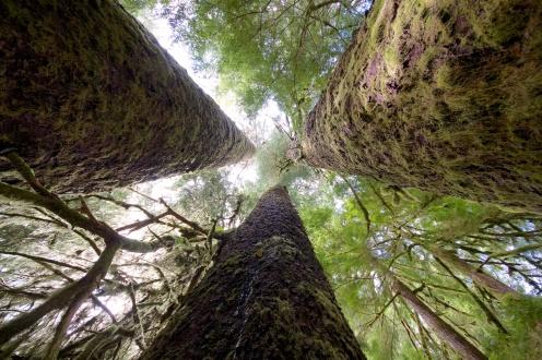 Three Monster Sitka Spruce