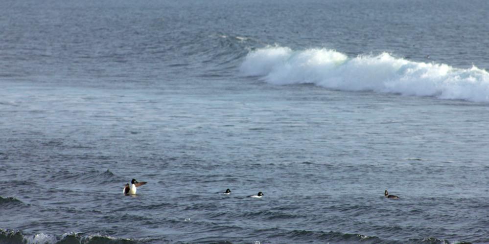 duckdivers